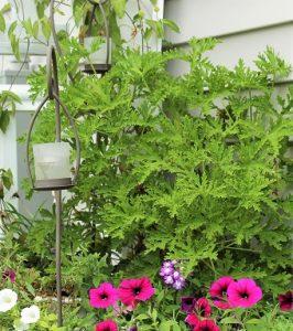 Mosquito Repellent Garden Mosquito Naturals