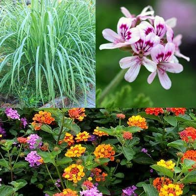 Mosquito Repellent Plants - Mosquito Trio | Mosquito Naturals from Clovers Garden | Chicago, IL