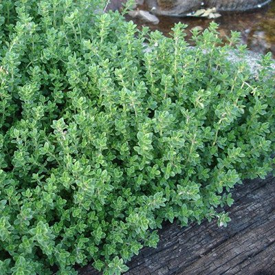 Creeping Lemon Thyme Mosquito Repellent Plants 3 5 Tall Each